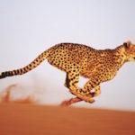 a cheetah sprinting