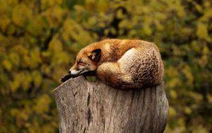 A reddish fox sitting atop a tree stump.